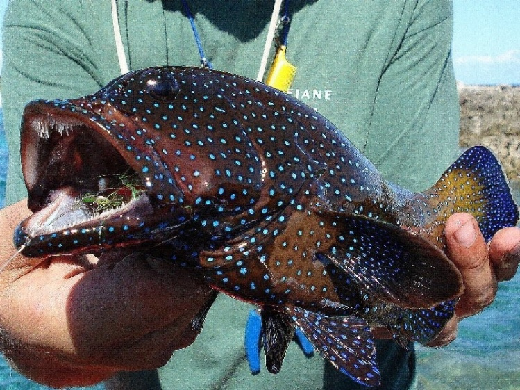 Rock Cod Fish   Henkie Altena S Fly Fishing Picture Of A Other Species Fly Dreamers