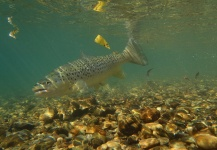 Brendan Shields 's Fly-fishing Photo of a Brown trout – Fly dreamers