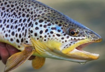 Mountain Made Media 's Fly-fishing Catch of a Brown trout – Fly dreamers