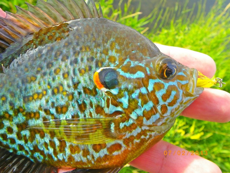 male pumpkinseed sunfish in spawning colors