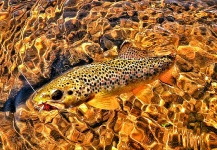 Fly-fishing Picture of Brown trout shared by Jim Liddicoat – Fly dreamers
