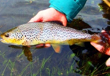 Julieta Guerrero 's Fly-fishing Photo of a Brown trout – Fly dreamers