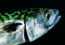 Brant Fageraas 's Fly-fishing Catch of a Spanish Mackerel – Fly dreamers