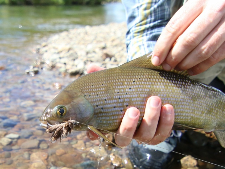 Grayling on the mouse!