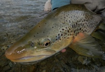 Brendan Shields   ( Guide ) 's Fly-fishing Pic of a Salmo fario – Fly dreamers