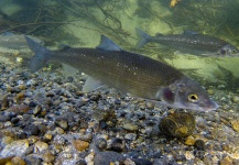 Russ R 's Fly-fishing Image of a Whitefish – Fly dreamers