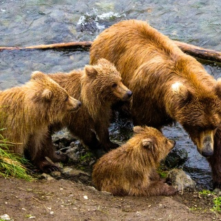 Mother bear at fabled Brooks River taking on 3 cubs, and daunting task!