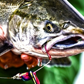 A great shot of a silver salmon with a string leach of purple and pink.