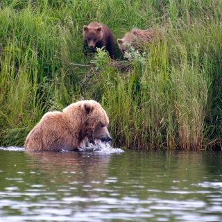 Mother bear teaching and feeding her young ones in the tidewater of the Alagnak River, only yards away from the lodge