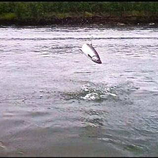 A king salmon on the fly of 25 pounds launching out of the water 6 times on this dual!