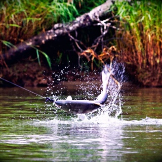 Leaping silvers on the fly, any time in August is prime time!