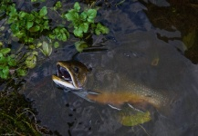 Rusty Lofgren 's Fly-fishing Catch of a Brook trout – Fly dreamers