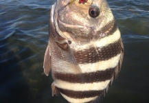 Fly-fishing Image of Sheepshead shared by Charles Holloway – Fly dreamers