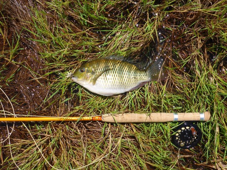 Fly fishing for tilapia