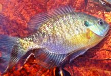 Fly-fishing Photo of Bluegill shared by Max Sisson – Fly dreamers