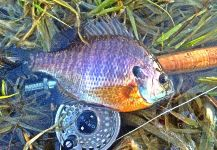Max Sisson 's Fly-fishing Image of a Bluegill – Fly dreamers