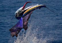 Frankie Marion 's Fly-fishing Photo of a Sailfish – Fly dreamers
