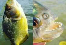 Fly-fishing Photo of Piranha shared by Luís Fernando Errera – Fly dreamers