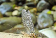 BERNET Valentin 's Cool Fly-fishing Entomology Picture – Fly dreamers