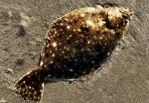 Fly-fishing Picture of Flounder shared by Jack Denny – Fly dreamers