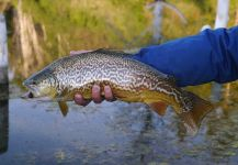 Fly-fishing Pic of Tiger Trout shared by Luke Alder – Fly dreamers