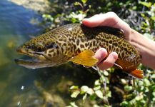 Fly-fishing Image of Tiger Trout shared by Luke Alder – Fly dreamers