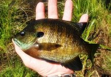 Fly-fishing Pic of Bluegill shared by Jack Denny – Fly dreamers