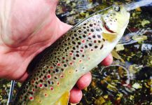 Chris Horgan 's Fly-fishing Photo of a brown trout – Fly dreamers