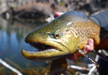 Luke Alder 's Fly-fishing Pic of a Tiger Trout – Fly dreamers