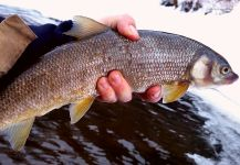 Fly-fishing Photo of Whitefish shared by Chris Watson | Fly dreamers