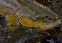 Fly-fishing Picture of brown trout shared by Michael Stack | Fly dreamers