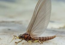 BERNET Valentin 's Interesting Fly-fishing Entomology Photo | Fly dreamers