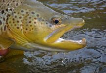 Michael Stack 's Fly-fishing Picture of a Salmo fario | Fly dreamers