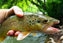 Chris Watson 's Fly-fishing Photo of a Brown trout | Fly dreamers