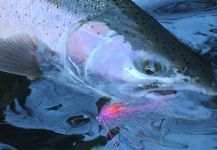Fly-fishing Pic of Steelhead shared by Alex West | Fly dreamers