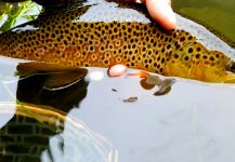 Chris Watson 's Fly-fishing Pic of a English trout | Fly dreamers