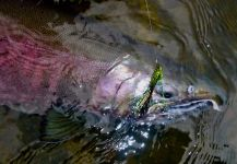 Fly-fishing Picture of Coho salmon shared by Scott Marr | Fly dreamers