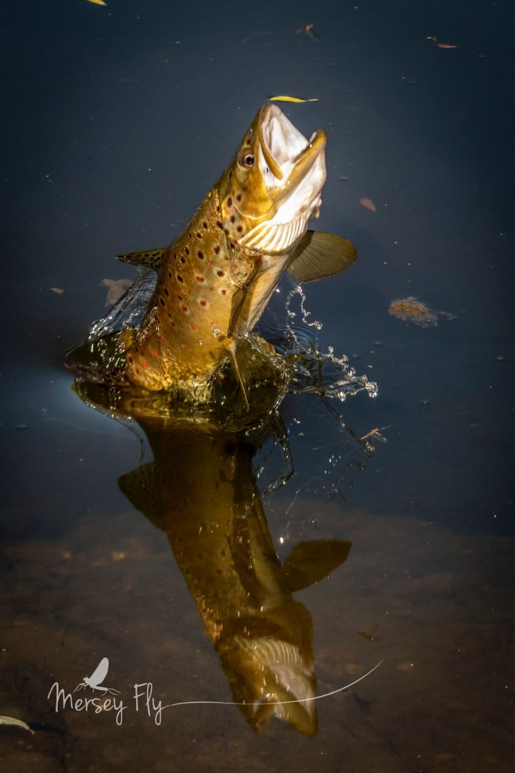 Brown Trout leaping at Mayfly spinners