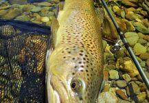 Fly-fishing Photo of German brown shared by BERNET Valentin | Fly dreamers