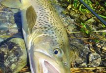 Fly-fishing Photo of Brown trout shared by BERNET Valentin | Fly dreamers