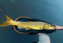 Fly-fishing Pic of Yellowfish shared by Mario Smit – Fly dreamers