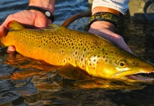 Fly-fishing Photo of Brown trout shared by Scott Smith – Fly dreamers