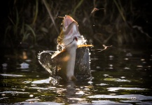 Peter Broomhall 's Fly-fishing Photo of a Salmo trutta | Fly dreamers