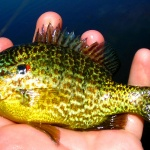 Panfish fly fishing - Fly dreamers