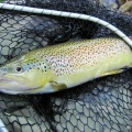 Brown trout from Bistra river