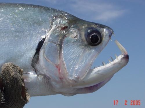 PAVÓN. PESCA CONMOSCA EN LOS LLANOS ORIENTALES DE COLOMBIAJulio SanínEl pez que nos quita el sueño durante todo el año, puede ser capturado en Colombia en los meses de enero, febrero y marzo. Durante los otros meses, las fuertes y...