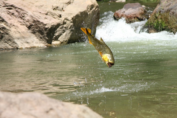 Tom baxter 39 s fly fishing catch of a golden dorado fly for Rio fly fishing