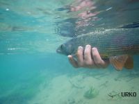#underwater #closeup #grayling #bistra