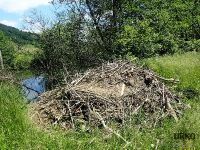 Proof of a healthy environment is this beaver den