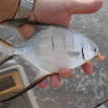 Palometa on fly...also know as Dart to some